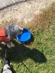 Getting a drink at last years Ottawa Purina Walk for Dog Guides